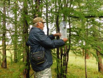 Очаг сибирского шелкопряда в Тыва увеличивает зону повреждения